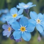 Forget Me Not by DorotejaC