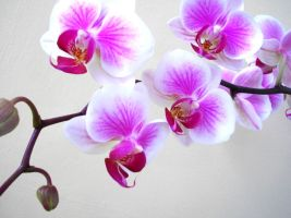 Pink Orchids by OHKayleigh