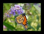 Monarch Butterfly III by David-A-Wagner