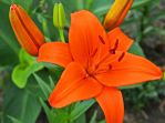 Orange Lily by FauxHead
