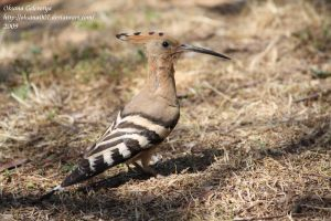 Hoopoe-2 by Oksana007