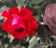 Paint The Rose Red by TirumalaLimniace