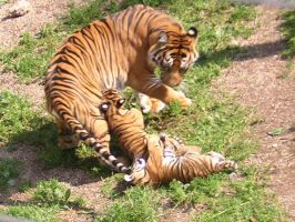 Tiger cubs by fantasyprincess93