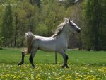 Shagya arabian stallion by kutiska