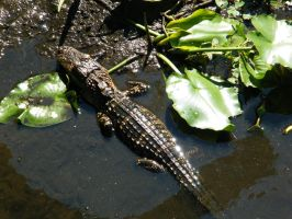 Baby Alligator by dkimber