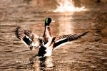 Duck Up by Havidor