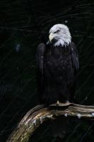 Bald Eagle by Tigerle