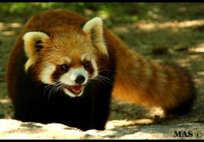 Red Panda_7951 by MASOCHO
