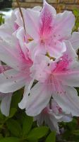 White and pink azaleas by rabbithat8