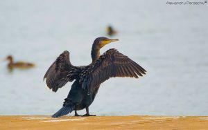 Great Cormorant by AlecsPS
