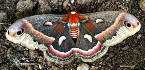 Cecropia Moth 3 by seto2112
