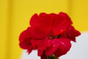 rose in front of a wall by klinter