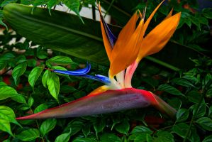 Bird of Paradise by pinknfuzzy4711
