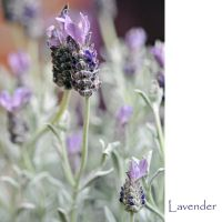 first lavender by MorkOrk