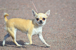 Show chihuahua by Tapire