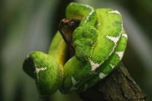 Emerald Tree Boa -edit- by cro4ky