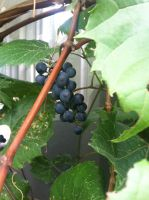 Grapes on the vine by meganleigh85