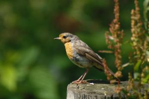 A European robin. by Rajmund67