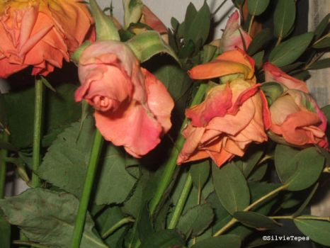 Withered peach roses by NotturnoItaliano