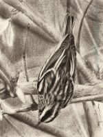 Black and White Warbler by AmBr0