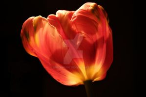 Tulip 12.11 by GreenMusic