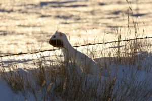 Ermine by pictureguy