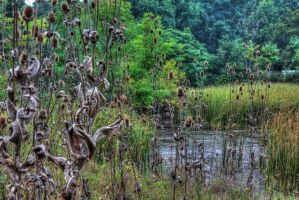 The swamp thistle by mariustipa