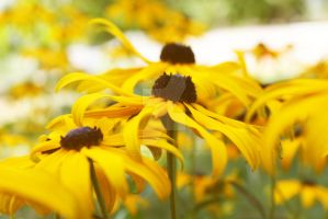 Black Eyed Susans by HappyClementine