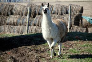 Llama by KeenPhotography