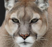 Mountain Lion IV by LHufford