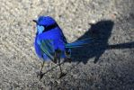 Splendid Fairywren by deeed