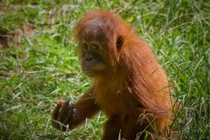 Baby King Louie by PSRADICH