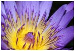 Royal Purple Water Lily #10 by Tazzy-