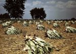 tobacco farm by makepictures