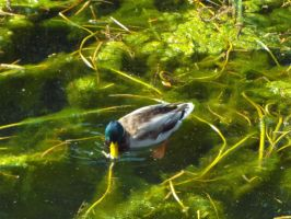 Mallard in the weed beds by buttercupminiatures