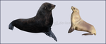 New Zealand Sea Lion by Nioell