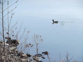 Monongahela Duck by Flying-With-The-Owls