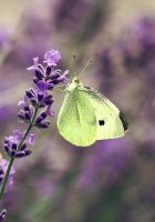 cabbage butterfly by cloe-patra