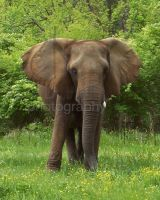 African Elephant by AprilDHallPhoto