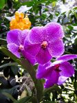 Orchid Beauty by niksi13