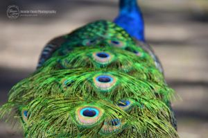 Peacock's Tail by sweetcivic