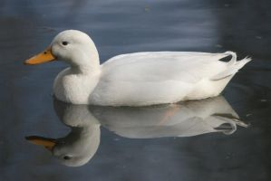 Reflections - Duck 2 by webworm