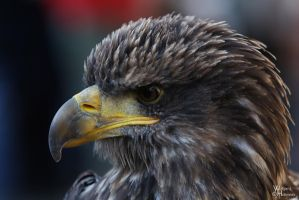 Monschau - Bald Eagle by W0LLE