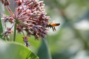 Honey bee and milkweed flowers 1 by greyrowan