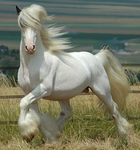 White Gypsy Vanner rf by hpequineart
