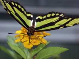 Black and Yellow Butterfly by rush---2112