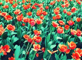 tulips2 by Sophie-Y