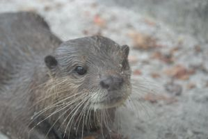 Otter - 3 by Silver-Stock-Images