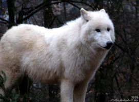 Arctic wolf: I'm a bit scared by Allerlei