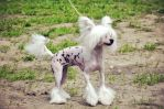 Chinese crested dog by Agrass